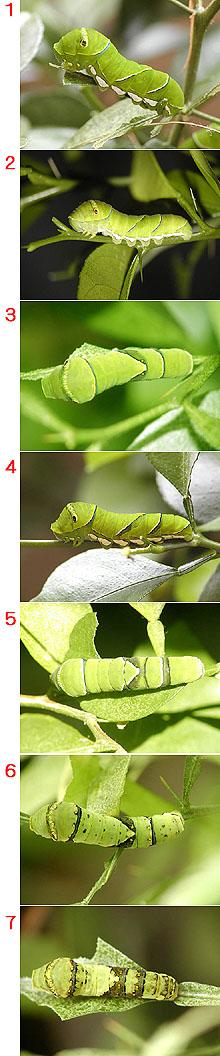 アゲハの幼虫の色